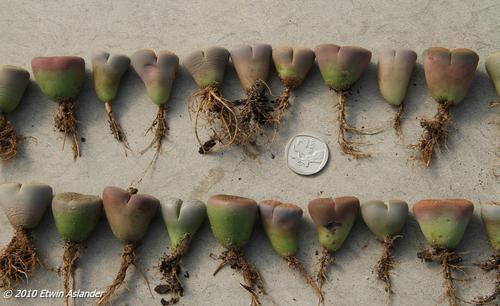 lithops plants