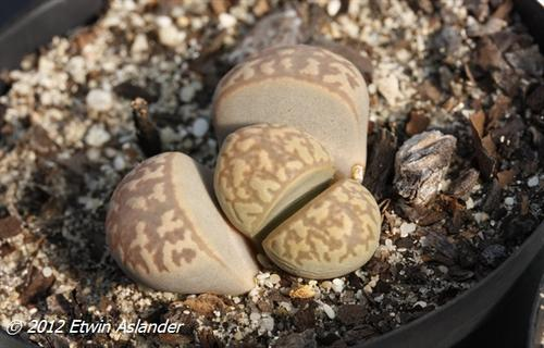 lithops marmorata var. elisae