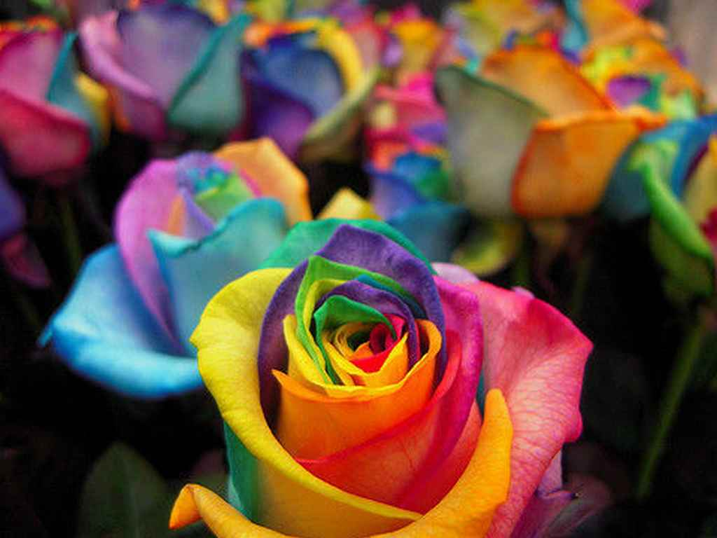 Roses rainbow rose seeds 10 seeds was sold for for Growing rainbow roses from seeds