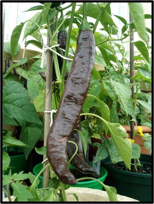 Seeds bulbs pepper pasillo bajio 10 seeds was listed for Giant chilli thai