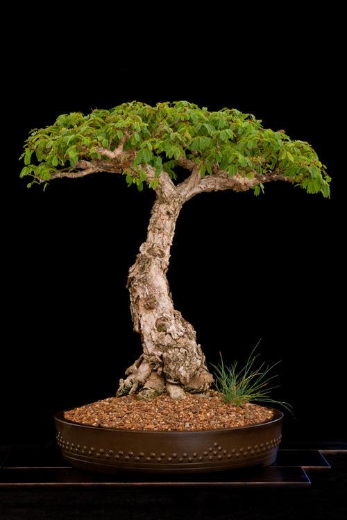 succulent bonsai
