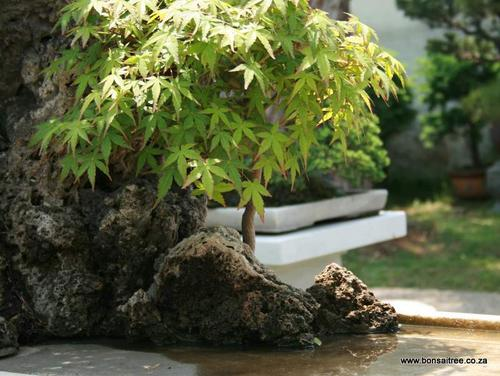 japanese maple penjing bonsai trees