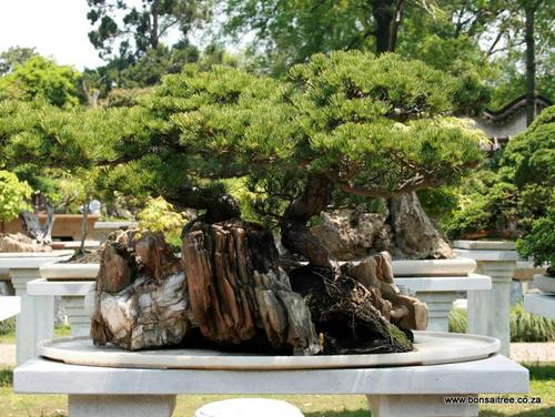 bonsai pines trees