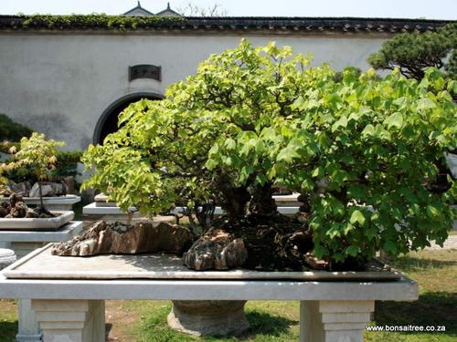 chinese trident maple penjing bonsai trees