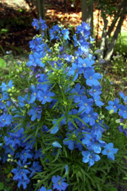 Biennials - DELPHINIUM BLUE BUTTERFLY - 100 DELPHINIUM ...