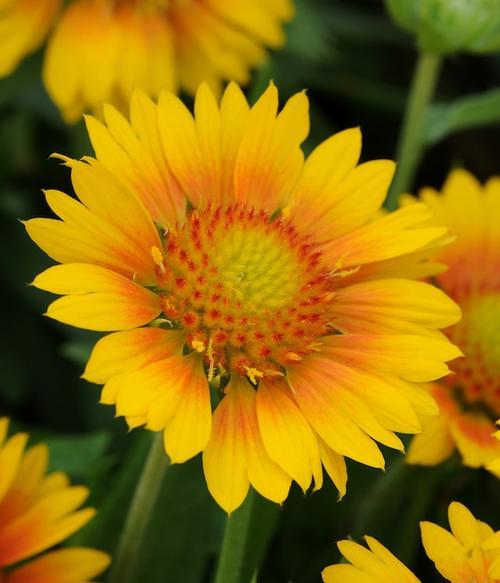 Perennials - GAILLARDIA SEEDS BLANKET FLOWER YELLOW - 20 ...