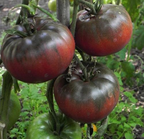 seeds bulbs tomato seeds black krim heirloom 10. Black Bedroom Furniture Sets. Home Design Ideas
