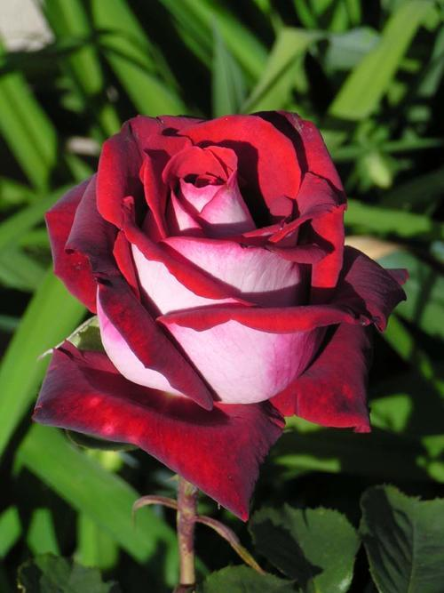 roses osiria rose seeds 10 seeds per packet was sold. Black Bedroom Furniture Sets. Home Design Ideas