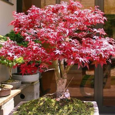 seeds 5 acer palmatum atropurpureum red japanese maple bonsai seeds free ebook exotic