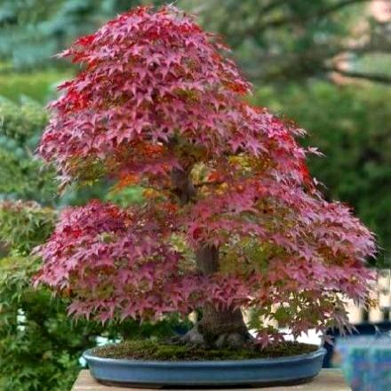 how to grow maple seeds