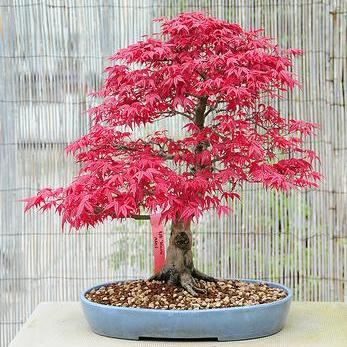 Indoor bonsai kaufen
