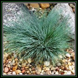 Grasses corynephorus canescens spiky blue seeds for Spiky ornamental grass