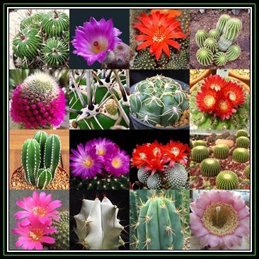 Seeds cactus mixed species 1000 bulk seed pack exotic cactus seeds cactus mixed species 1000 bulk seed pack exotic cactus succulent combined global shipping new was sold for r16000 on 1 mar at 1046 by seeds fandeluxe Image collections