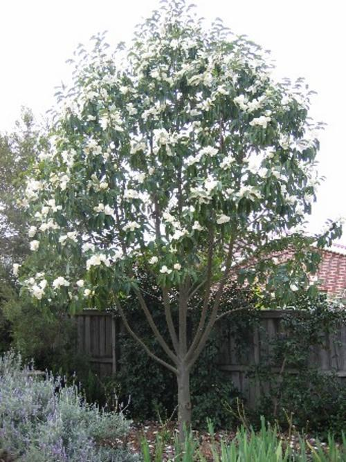 magnolia tree. Magnolia grandiflora, commonly