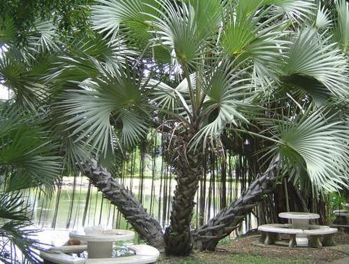 madagascar palm care instructions