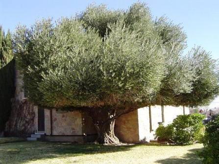 evergreen european olive olea europaea ssp africana. Black Bedroom Furniture Sets. Home Design Ideas