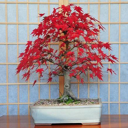 japanese maple tree pictures. Bloodgood Japanese Maple