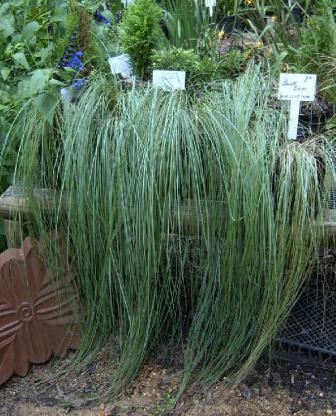 Wind Dancer Ornamental Grass