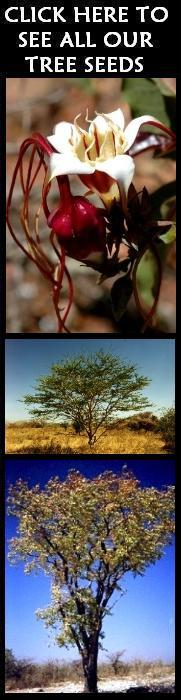 lacebark elm tree pictures. Common Names: Chinese Elm, Lacebark Elm, Drake Elm