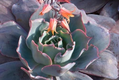 Echeveria Afterglow Care Echeveria 'afterglow' This