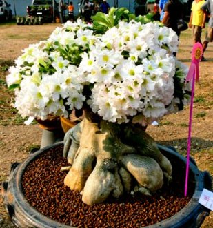 http://images.bidorbuy.co.za/user_images/651/390651_Adenium_obesum_White_new.jpg