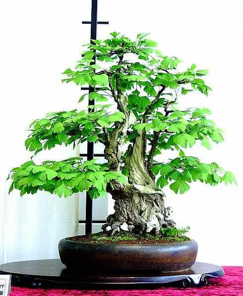 seeds 2 ginkgo biloba bonsai seeds maidenhair buy. Black Bedroom Furniture Sets. Home Design Ideas