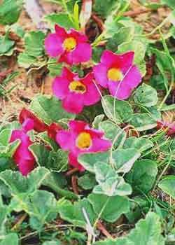 Les plantes utilent aux chevaux  390651_Harpagophytum_procumbens2