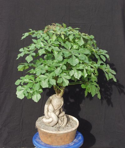 http://images.bidorbuy.co.za/user_images/651/390Cussonia_sphaerocephala_bonsai.jpg
