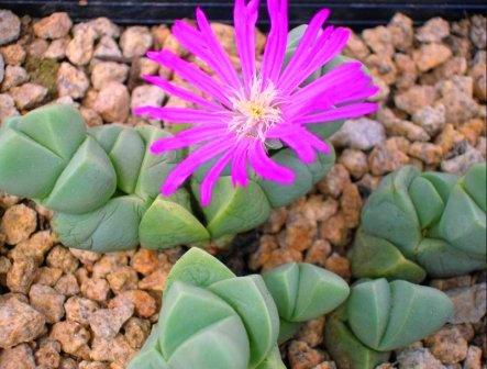Encore cette année... semis de succulentes! 390Gibbaeum_petrense3