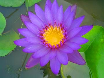 http://images.bidorbuy.co.za/user_images/651/390Nymphaea_capensis_purple1.jpg