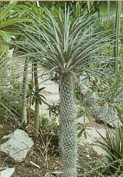 how to grow pachypodium from seed