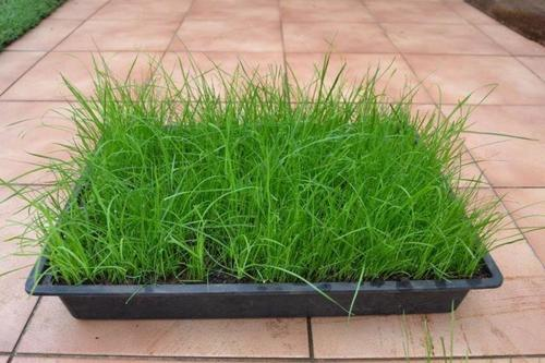 Grasses quick growing grass 1 bag gingergreen grass for Ornamental grasses that stay green all year