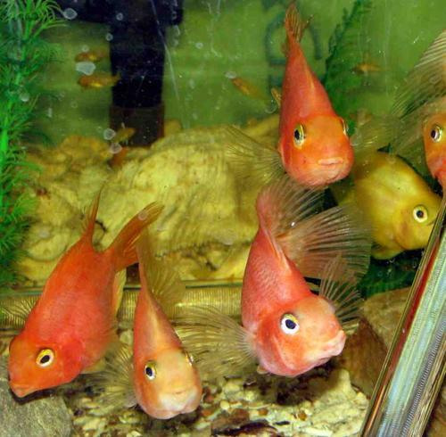 Fish parrotfish freshwater beauts aquariums for Parrot fish freshwater