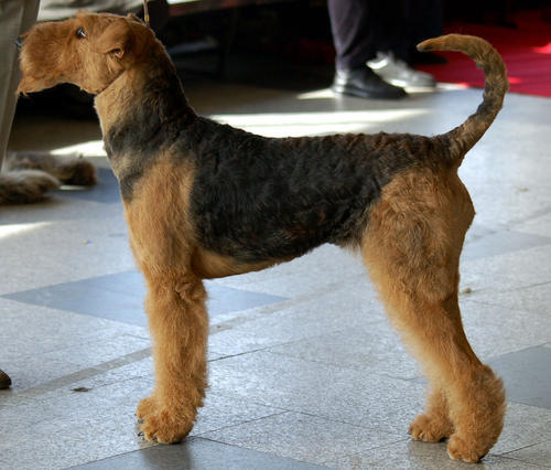airedale terrier puppies. Airedale Terrier Puppies