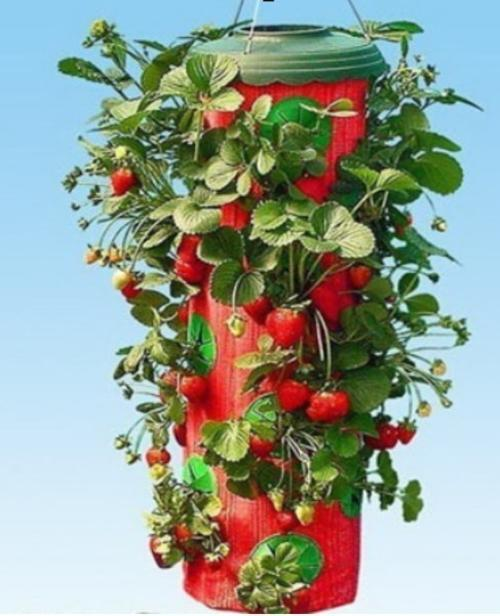 The Upside down strawberry planter plants your strawberries upside down.  Grown in a convenient steel stand, just place your strawberry plants in the  ports ... - Pots & Planters - Upside Down Strawberry Planter Was Listed For