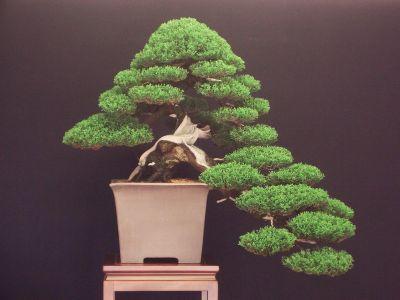Seeds italian cypress pencil pine cupressus for Bonsai italia