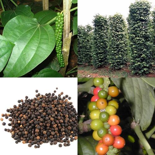 Seeds - *** NEW *** Grow your own Pepper - Black Pepper ...