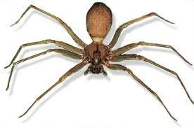 Violin Spider http://www.bidorbuy.co.za/article/6212/Spider_Identification