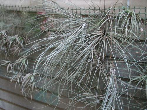 plants air plants tillandsias was sold for on 27 jun at 17 02 by rudolphr2008 in. Black Bedroom Furniture Sets. Home Design Ideas